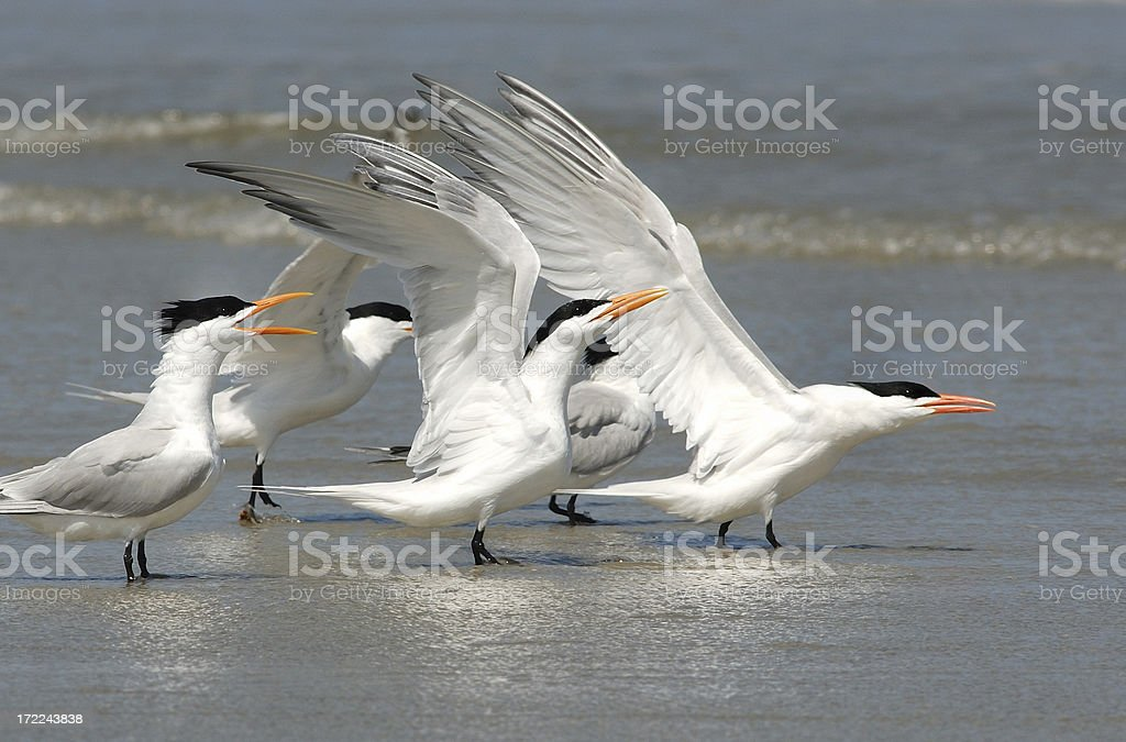Royal terns stretch their wings on beach. stock photo