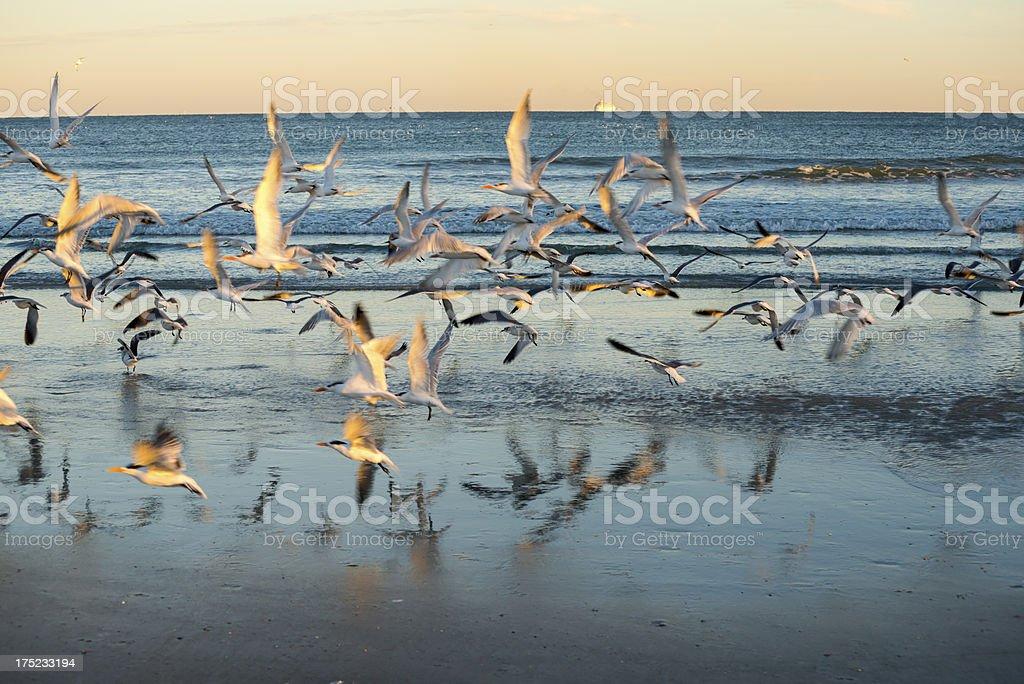 Royal terns and cruise ship stock photo