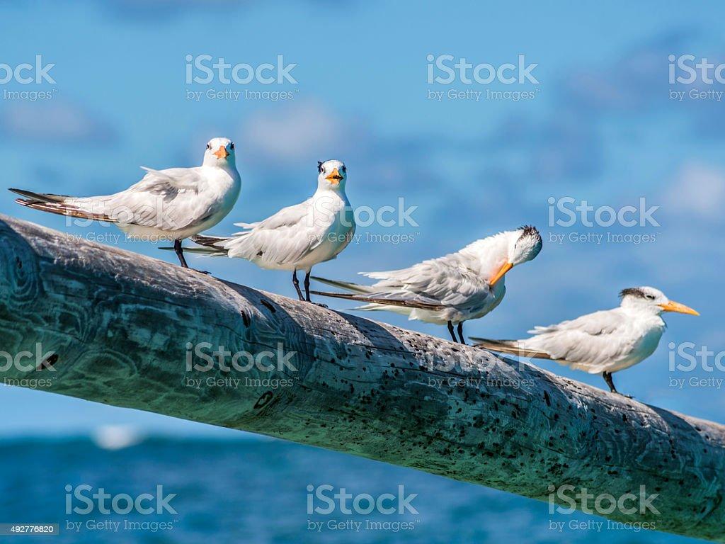 Royal Terns [Thalasseus maximus] preening on a pole stock photo