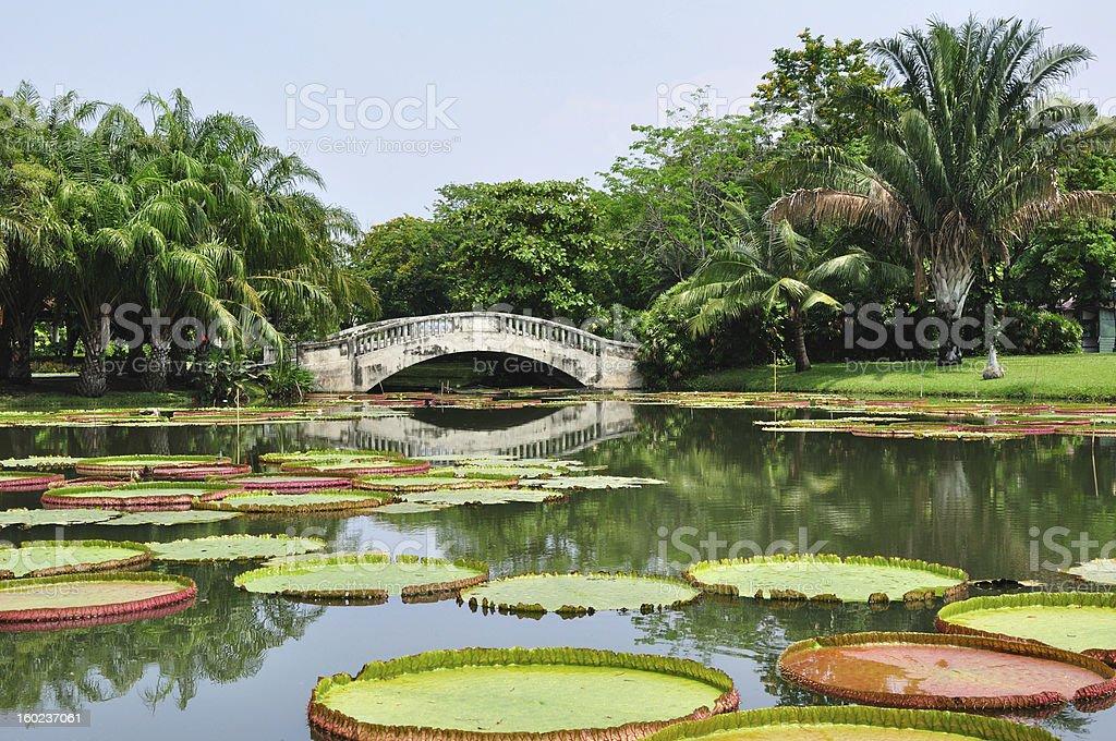 Royal Water Lily royalty-free stock photo