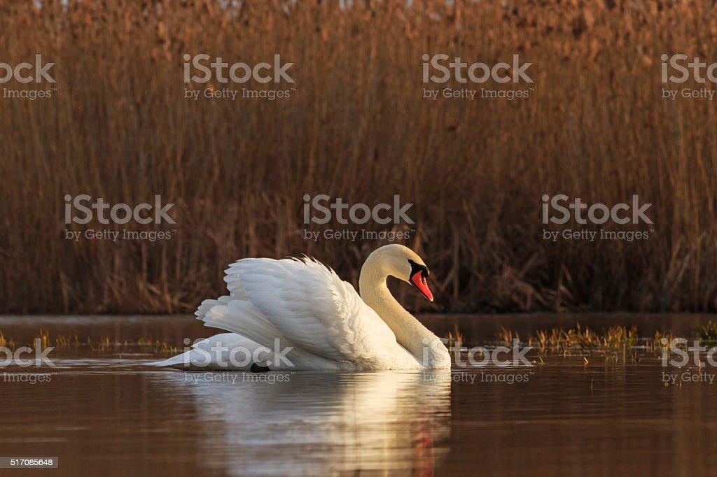 Royal White Bird stock photo