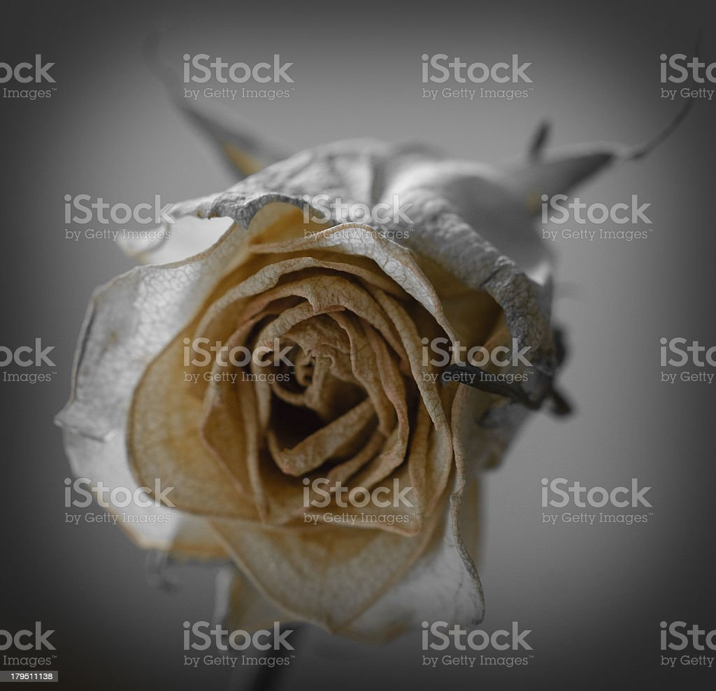 Roze Roos bloem flower stock photo