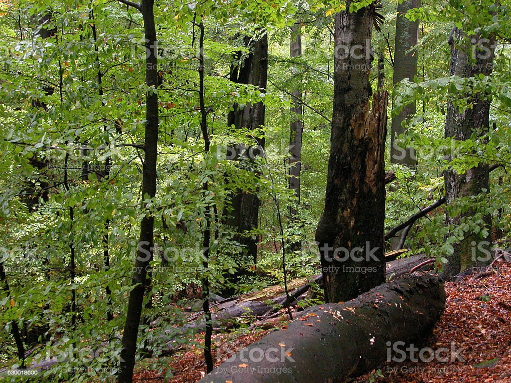 Rozok Virgin Forest Reserve in Easternmost Slovakia stock photo