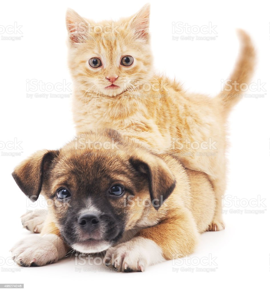 Rred kitten in puppy. stock photo