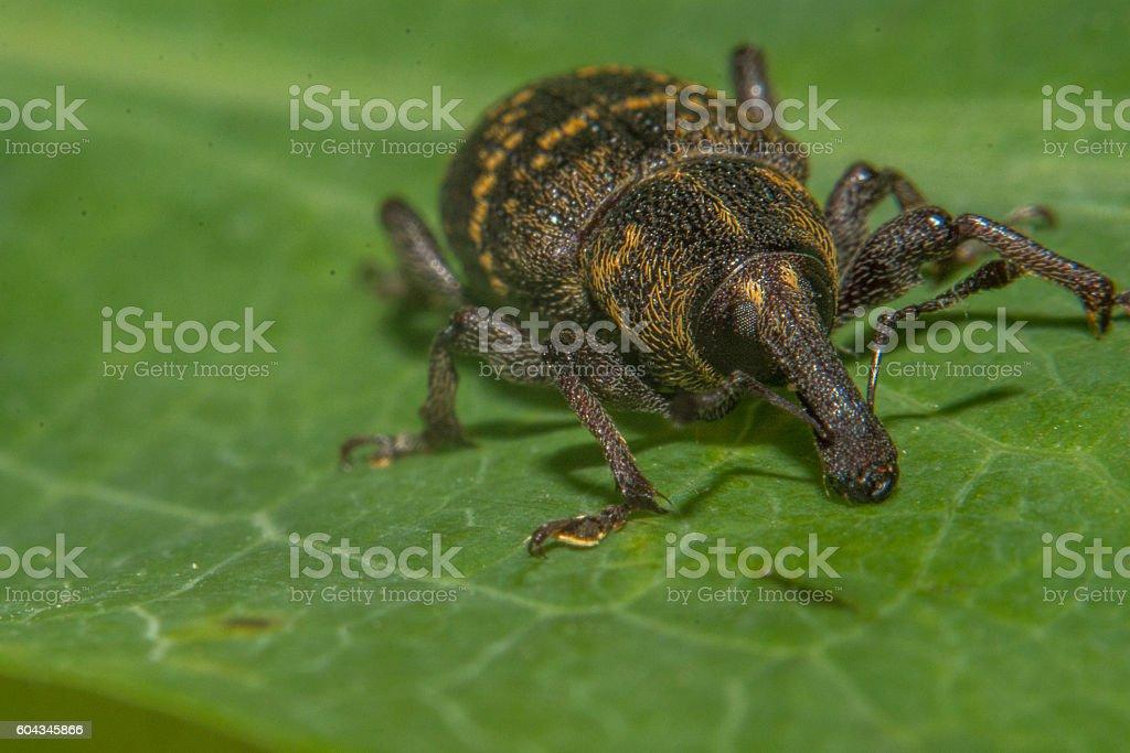 Rüsselkäfer stock photo