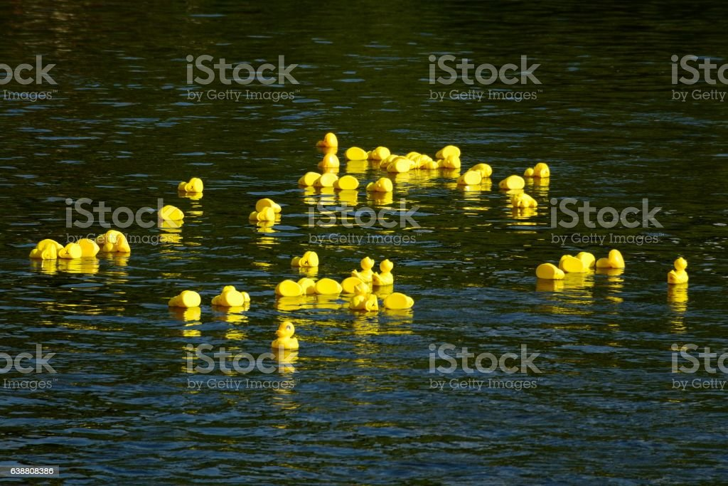 Rubber ducks in Carrick-On-Suir river, Co Tipperary stock photo