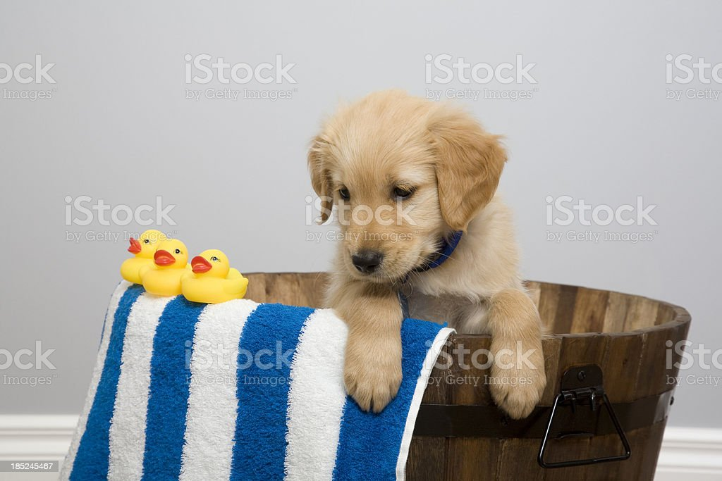 Rubber Ducky Pup stock photo