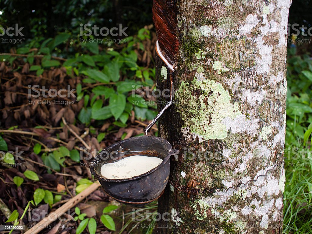 Rubber latex of rubber trees (Hevea Brasiliensis) stock photo