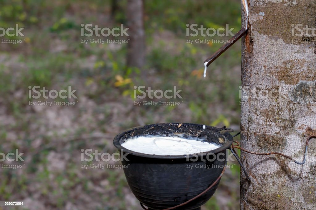 Rubber Latex of rubber trees stock photo