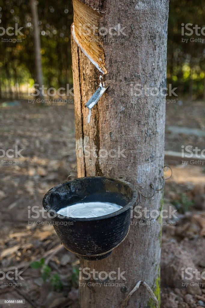 Rubber, latex, rubber tapping. stock photo