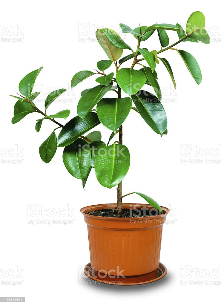 rubber plant stock photo