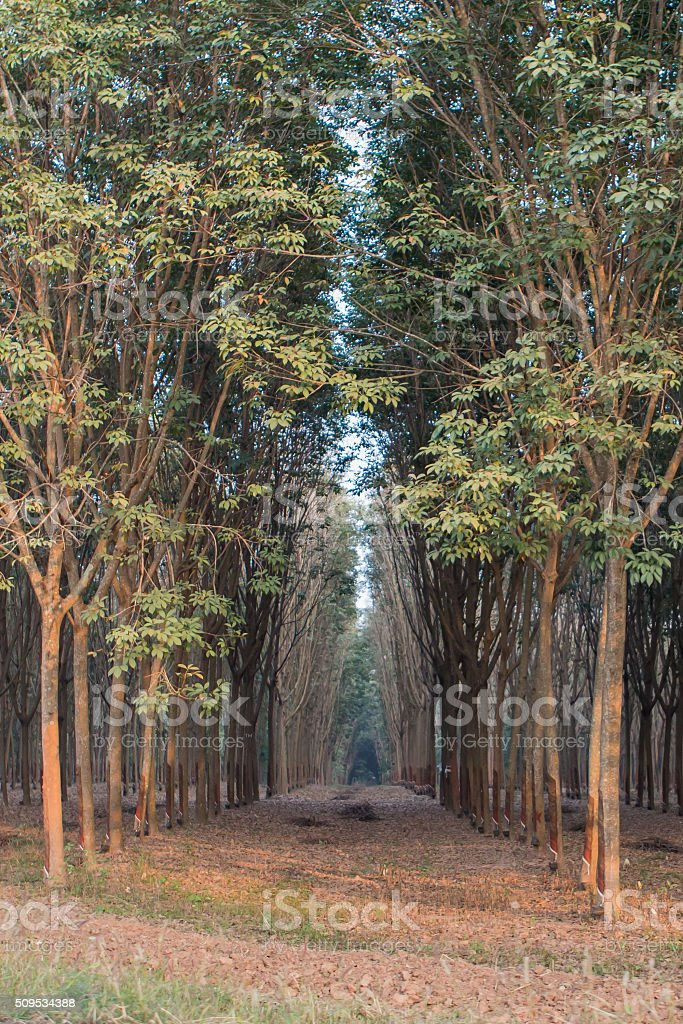 Rubber Plantation in Thailand stock photo