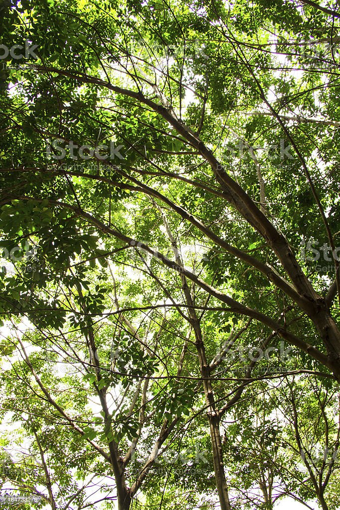 Rubber plantation in the southern, Thailand royalty-free stock photo