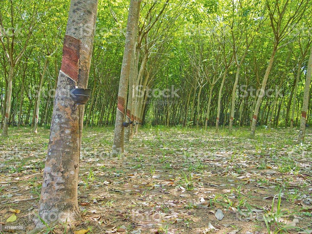 Rubber plantation stock photo