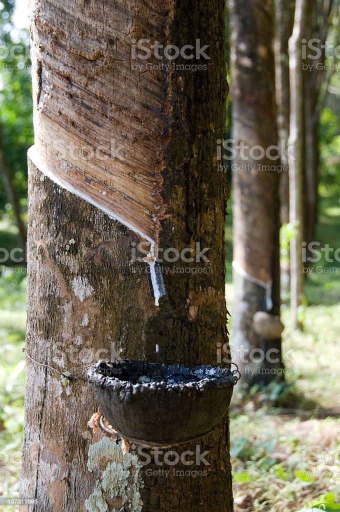Rubber Tapping in South East Asia stock photo