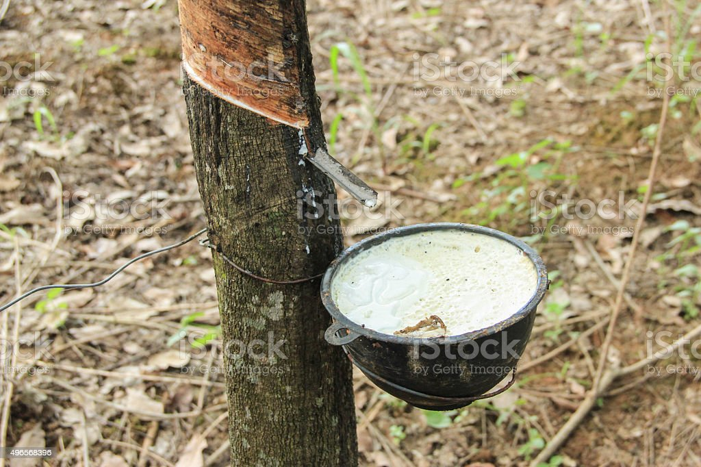 Rubber Tapping stock photo