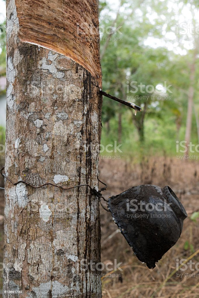Rubber tree at sunrise in mist At South Thailand stock photo