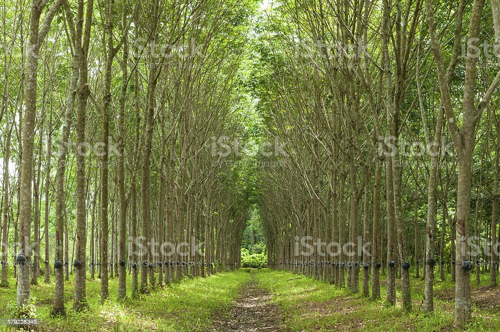 Rubber tree background stock photo