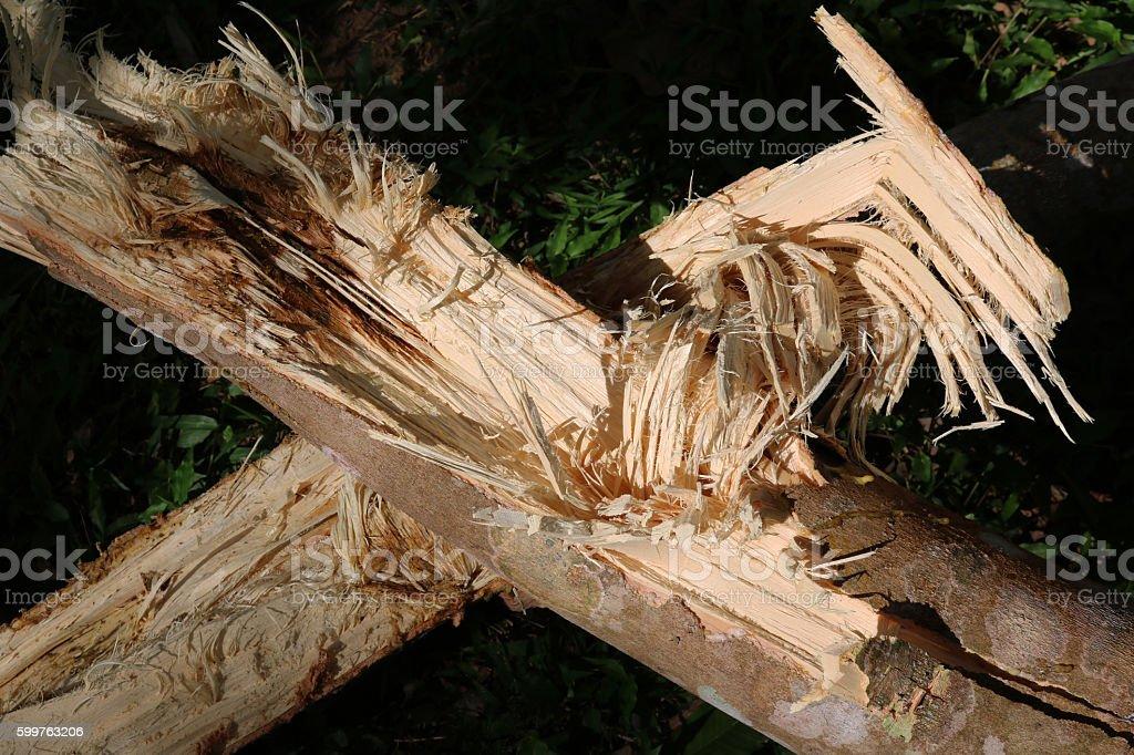 Rubber tree broken. stock photo
