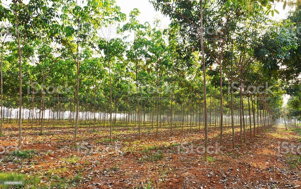 Rubber tree field stock photo