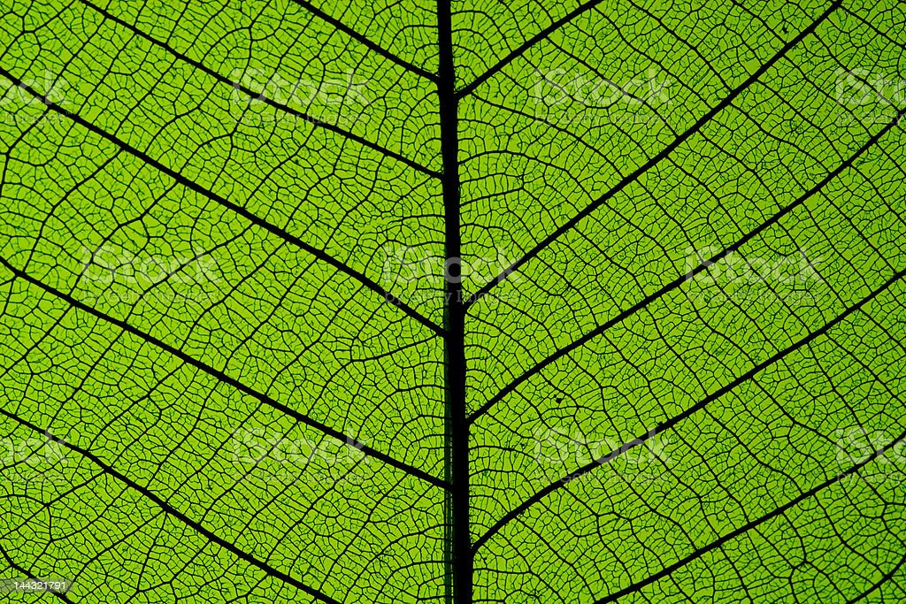 Rubber Tree Leaf, Macro royalty-free stock photo