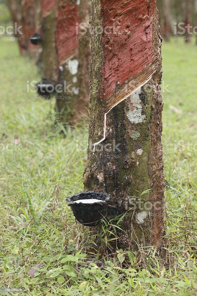 Rubber tree. royalty-free stock photo