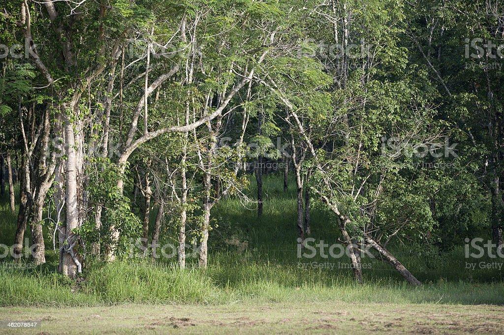 Rubber Tree royalty-free stock photo