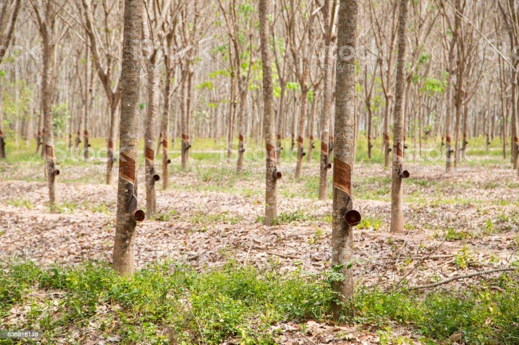 Rubber tree plant stock photo