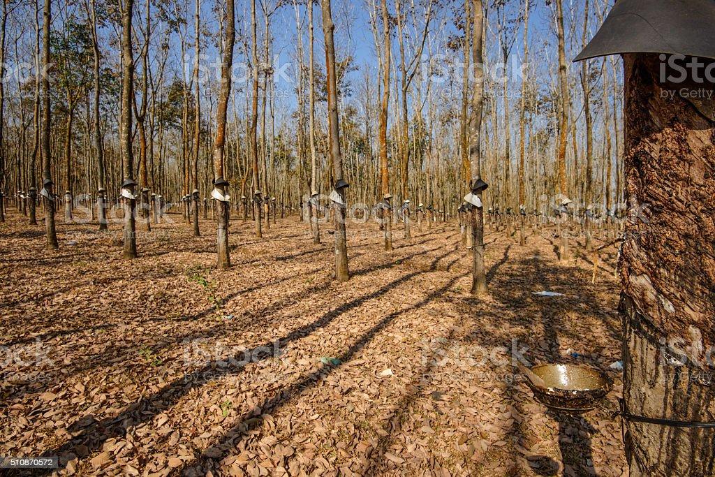 Rubber tree plantation in Autumn stock photo