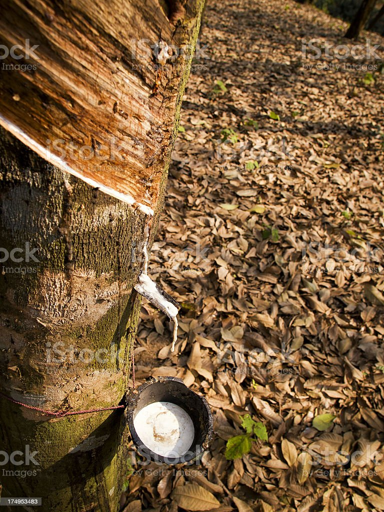 Rubber tree plantation royalty-free stock photo