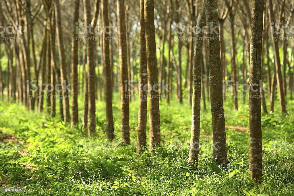 Rubber tree plantation royalty-free stock photo
