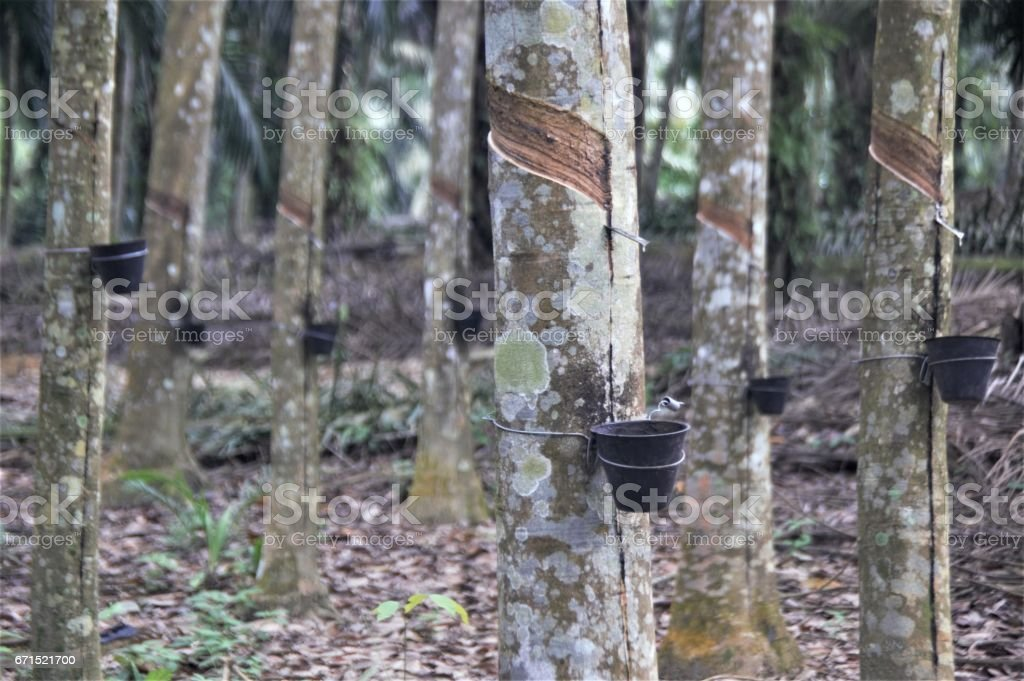 Rubber tree plantation stock photo