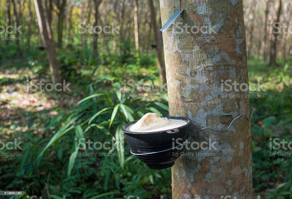 Rubber tree plantation, Thailand stock photo
