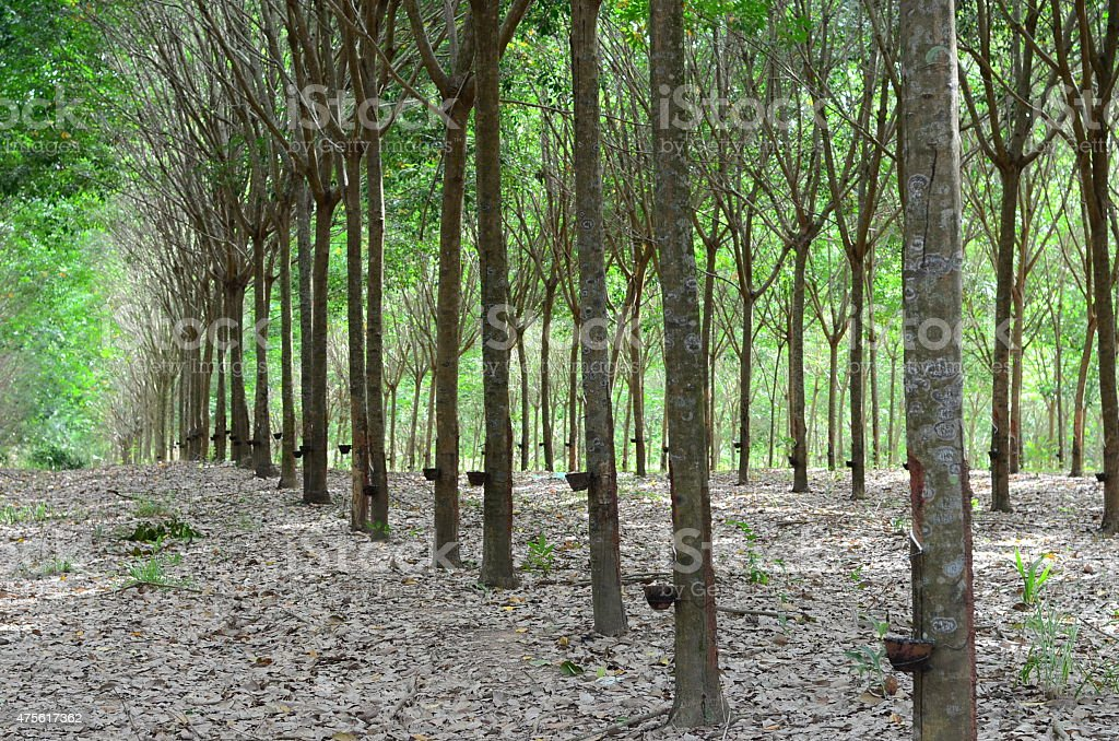 Rubber Tree Plantation With Rows Of Trees stock photo