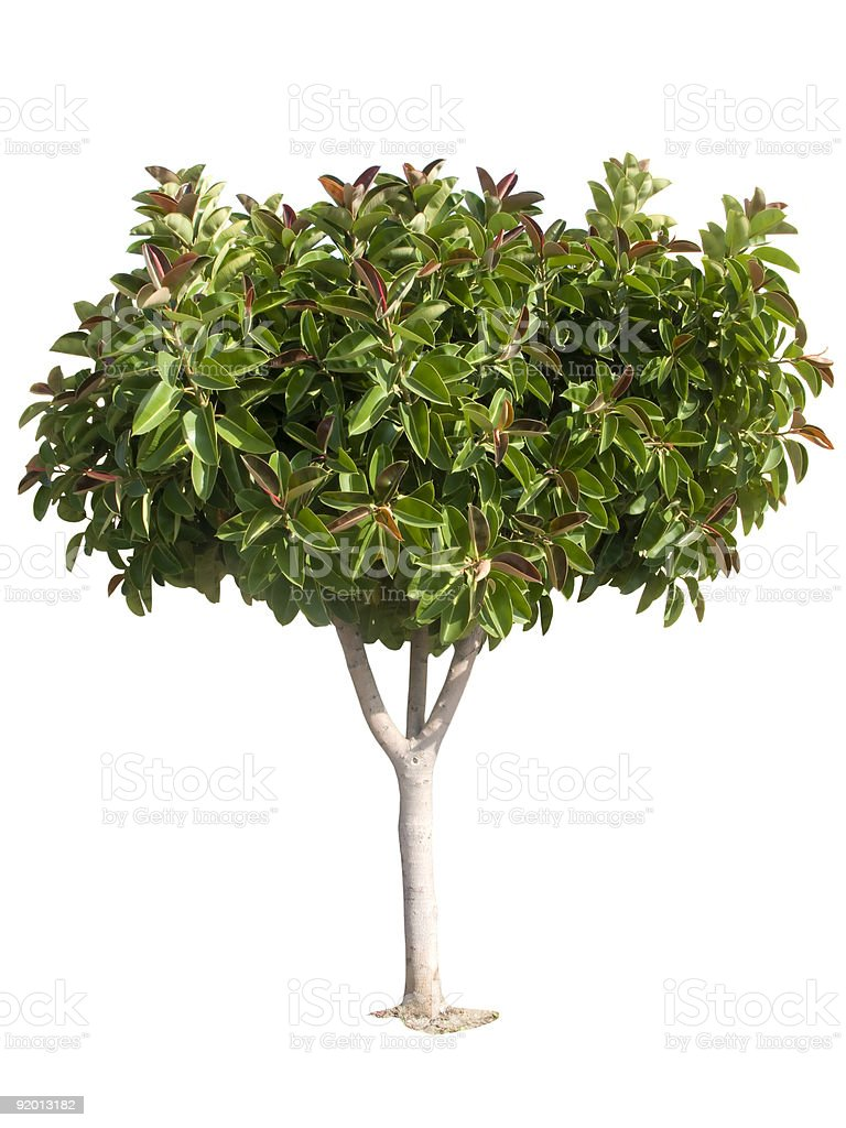 Rubber tree. Producer of latex. stock photo