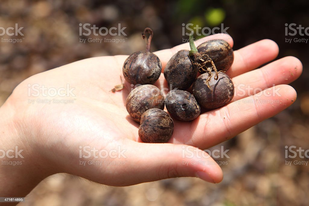 Rubber Tree Seed royalty-free stock photo