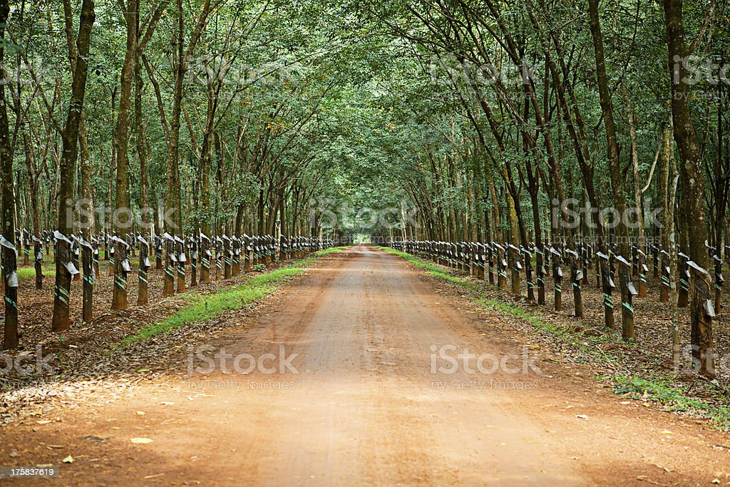 Rubber trees at Vietnam royalty-free stock photo