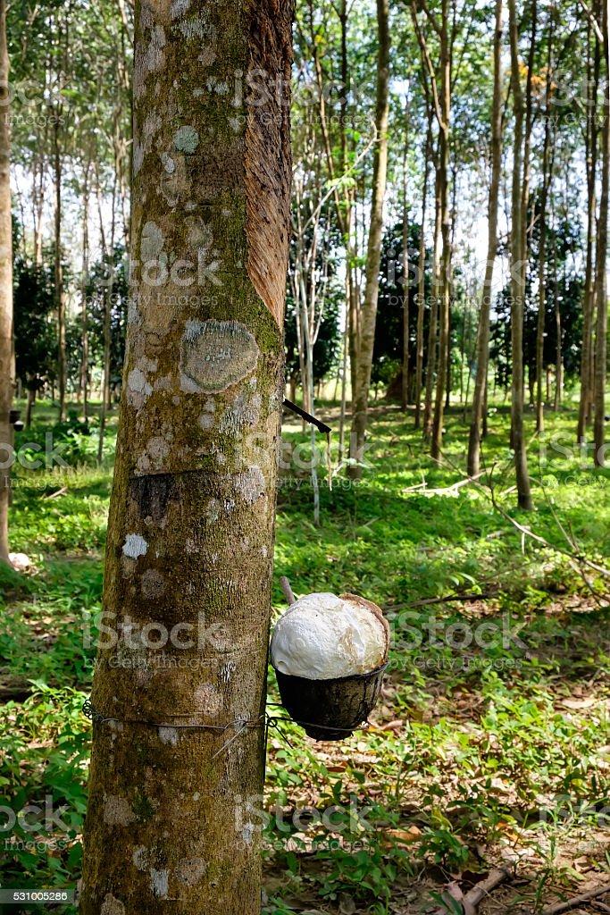 Rubber trees farm. stock photo