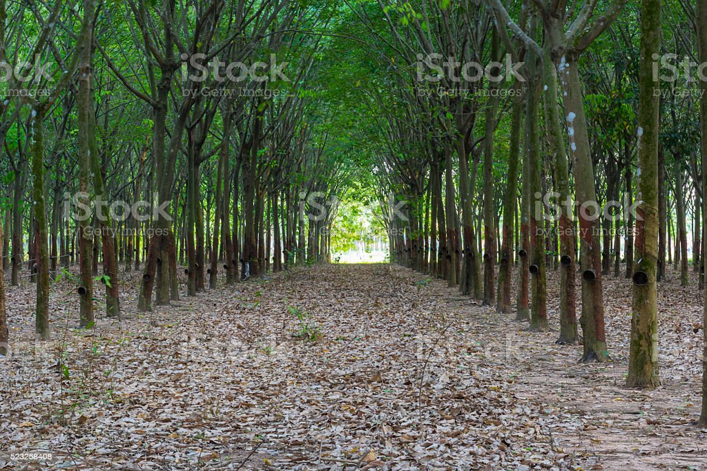 rubber trees in row stock photo