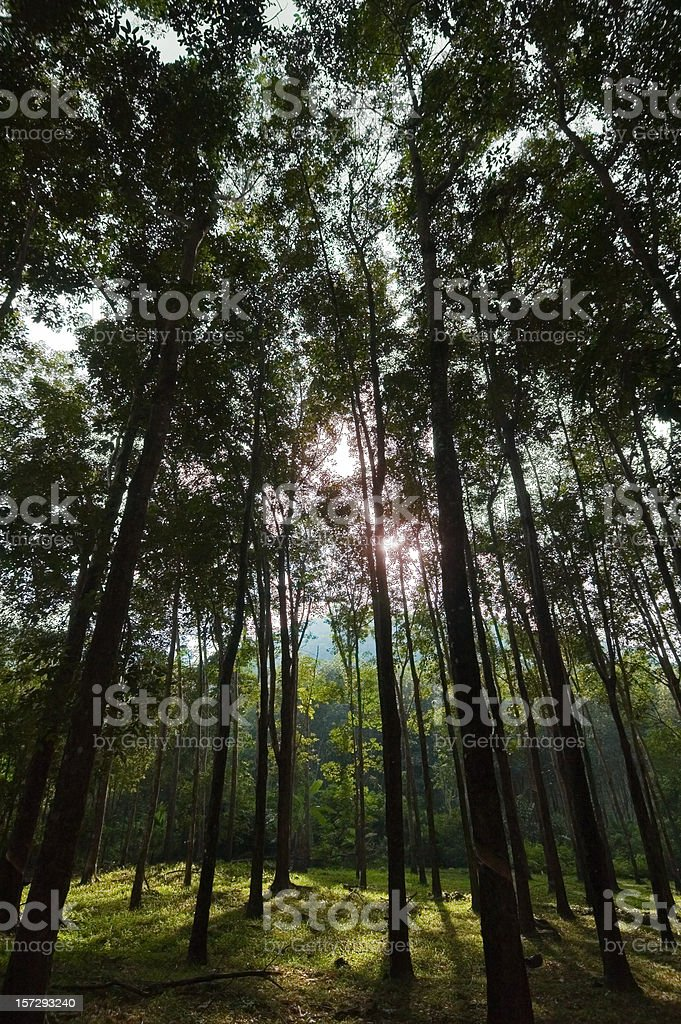 Rubber Trees royalty-free stock photo