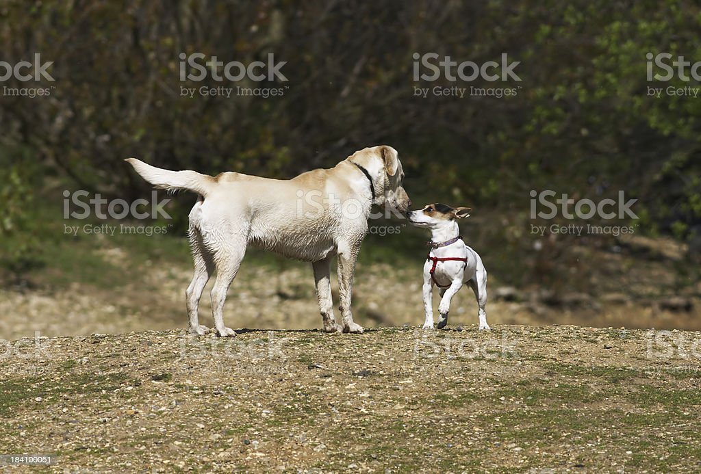First meeting Jack Russell terrier and golden labrador stock photo