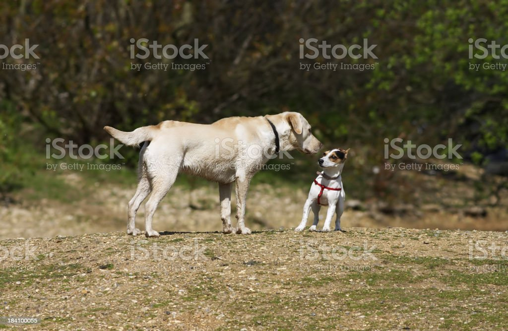 Two dogs meeting Jack Russell terrier and golden labrador stock photo