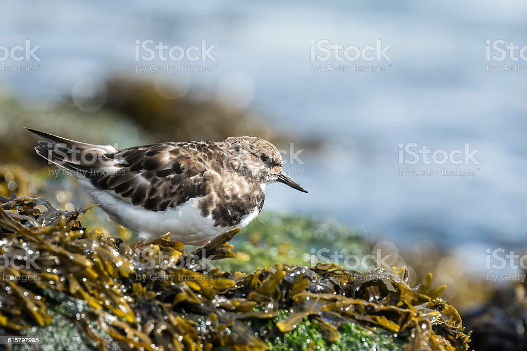 Rubby turnstone wading bird stock photo