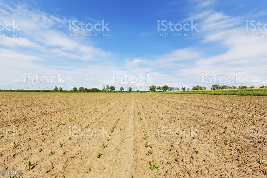 Rube Plants - Cultivated Land royalty-free stock photo