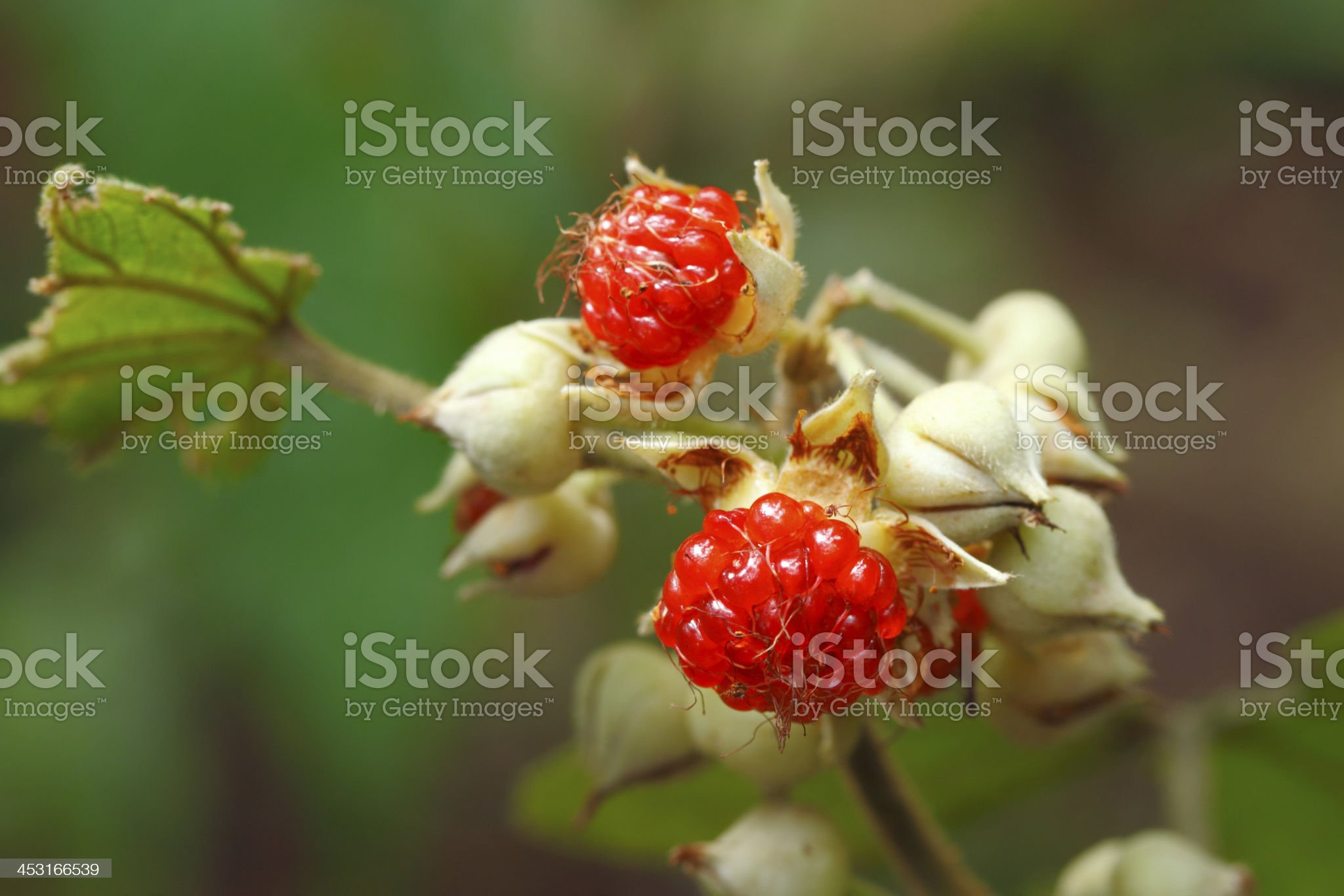 Rubus alceifolius royalty-free stock photo