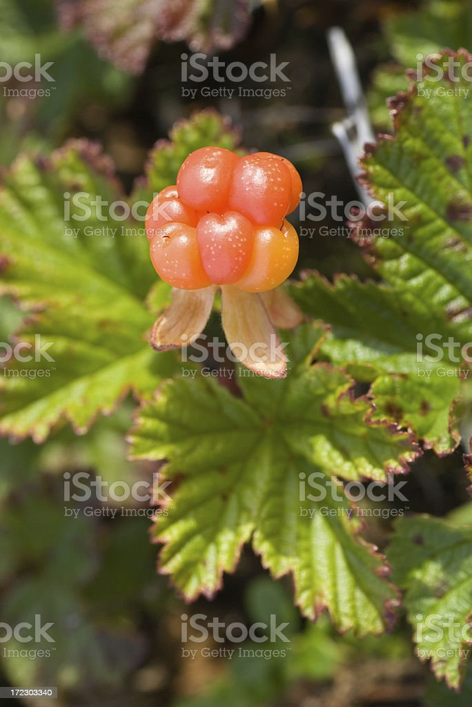Rubus chamaemorus stock photo