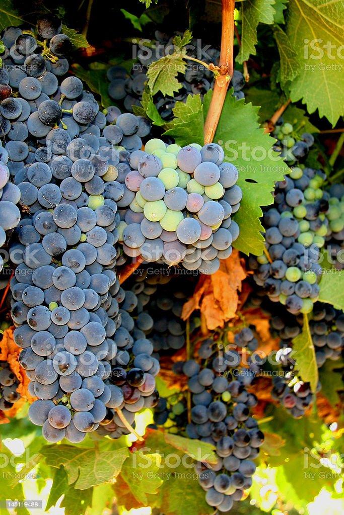 Ruby Cabernet uvas foto de stock libre de derechos