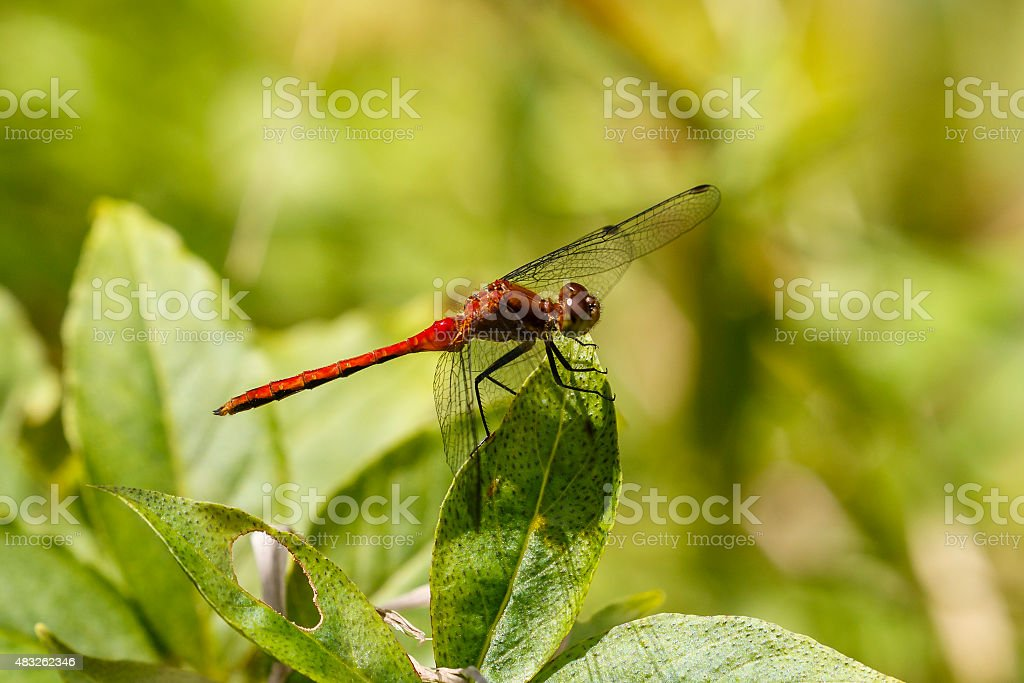 Ruby Meadowhawk Dragonfly Perched on a Leaf stock photo