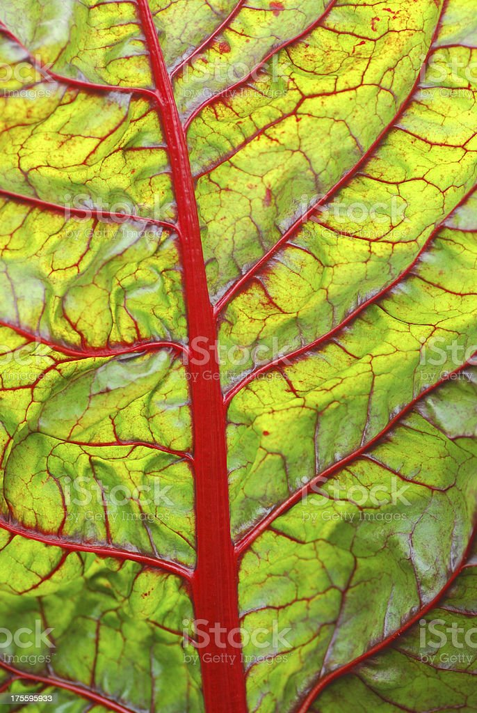 Ruby Red Chard leaf royalty-free stock photo