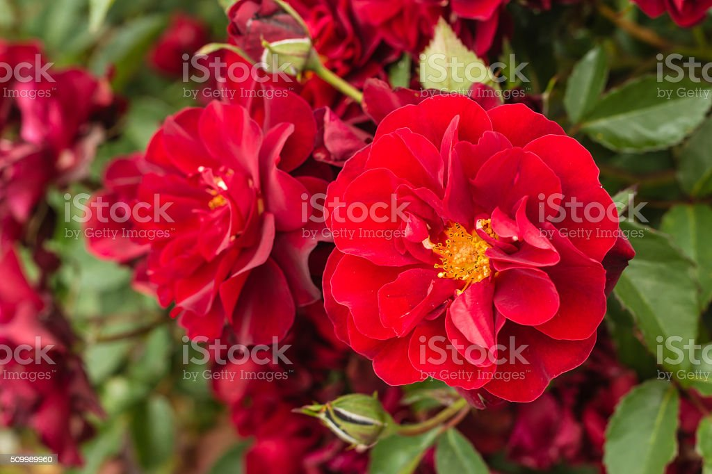 ruby roses in bloom stock photo